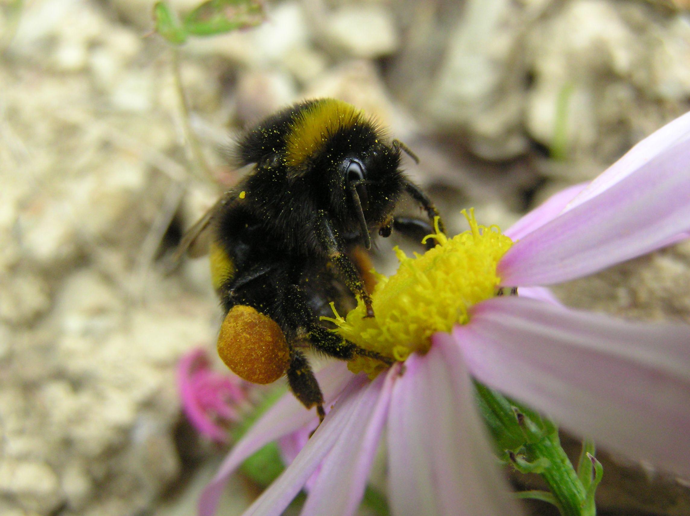 Les altres abelles